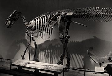 Skeleton of Edmontosaurus
